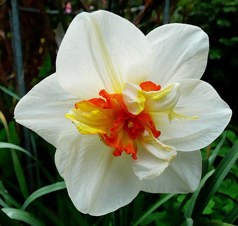 """Narcizai """"Flower Drift"""" 3vnt."""
