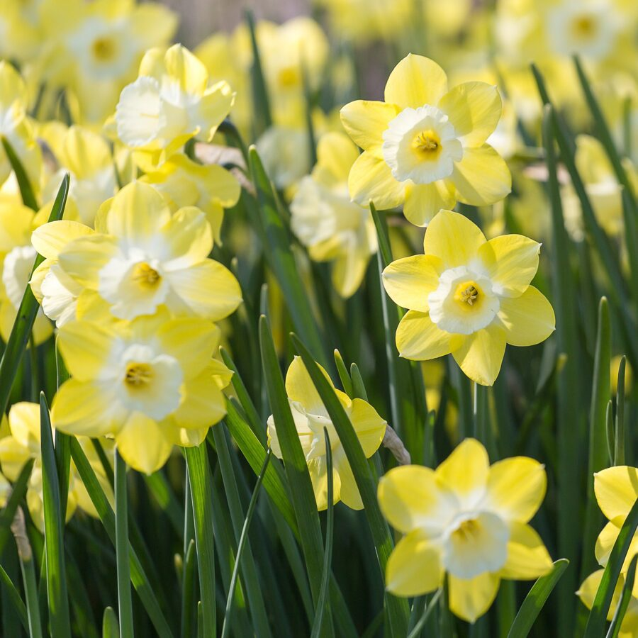 NAUJIENA! Narcizai kvepiantys - PIPIT 5vnt