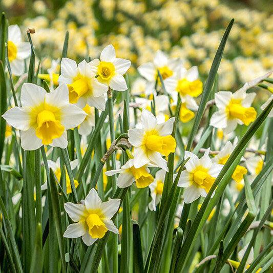 NAUJIENA! Narcizai - GOLDEN EHO 5vnt