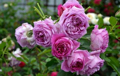 Rožė VILLAGE THE SAINT YRIEIX