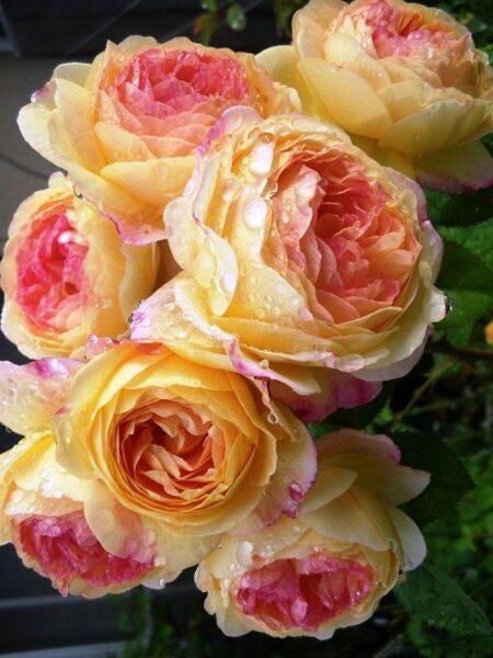 NAUJIENA! Parko rožė - ROSOMANE JANON