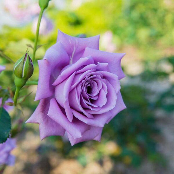 Rožė - MAINZER FASTNACHT