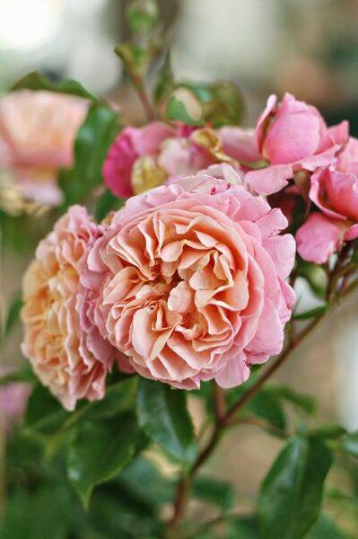NAUJIENA! Rožė - CHEMISTRY