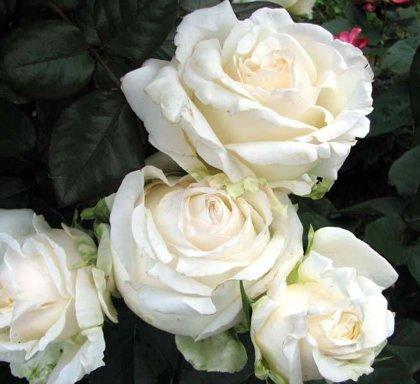 Rožė CHOPIN (Fryderyk Chopin)