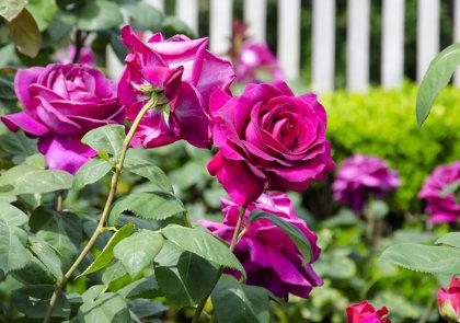 Rožė BIG PURPLE