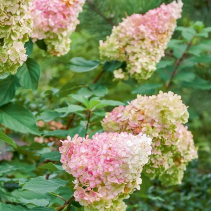 Šluotelinė hortenzija - VANILLE FRAISE
