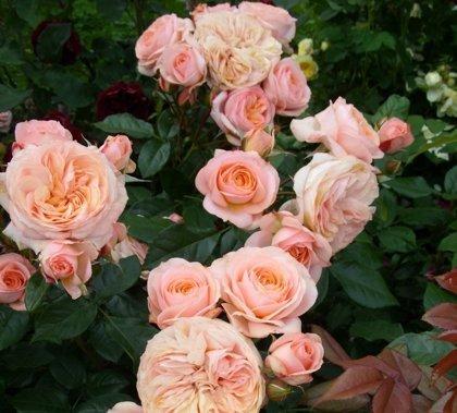 Rožė SOURIRE DU HAVRE