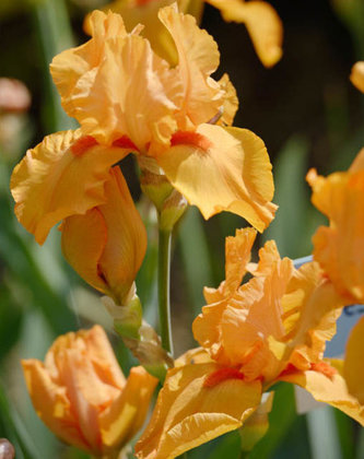 Irisas - ORANŽINIS