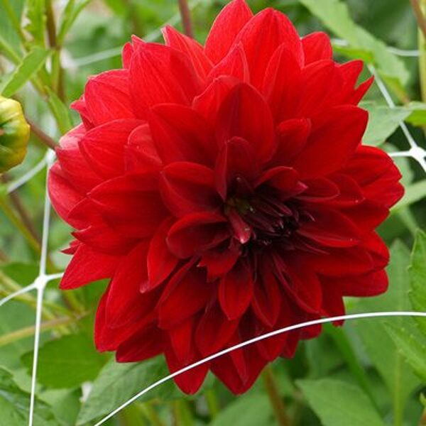 "Jurginas ""Decorative Red"""