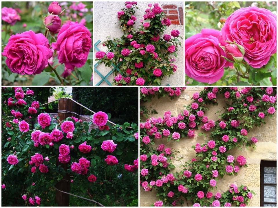 "Vijoklinė rožė ""Mme ISAAC PEREIRE"""