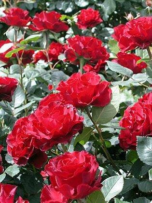Rožė LAMERE BAROCCA