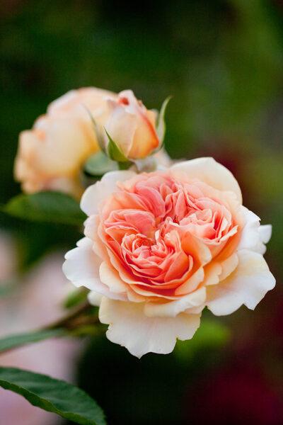 """Rožė """"Charming apricot"""""""