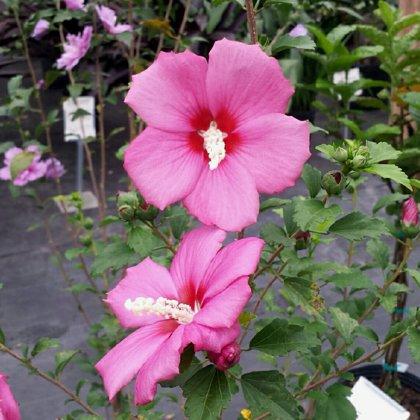 Kinrožė (hibiscus syriacus) - WOODBRIDGE