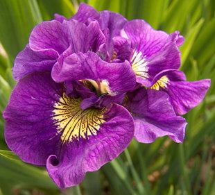 """Pilnaviduris irisas """"Double standard"""""""