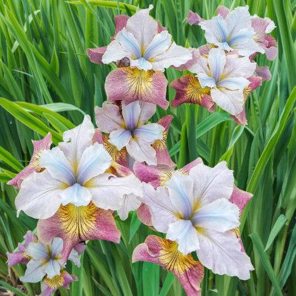 Sibirinis irisas - SUGAR RUSH