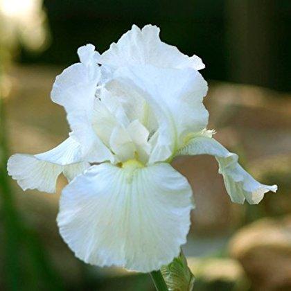 Irisas - BALTAS