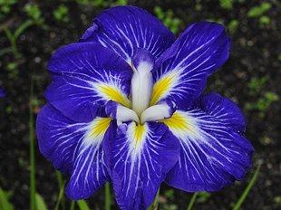 "Irisas japoninis ""Gusto"""