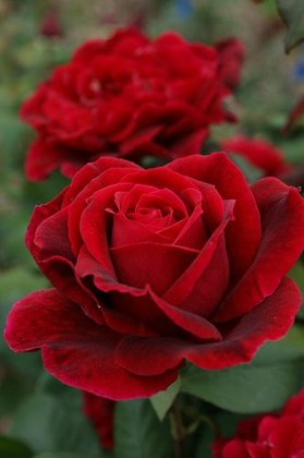 Rožė MISTER LINCOLN