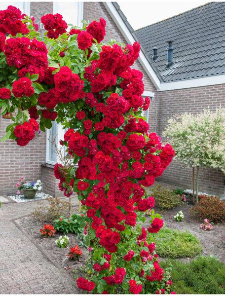 """Vijoklinė rožė """"Paul`s Scarlet Climber"""""""