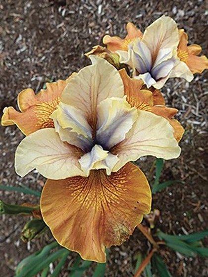 NAUJA! Sibirinis irisas - orange grooves