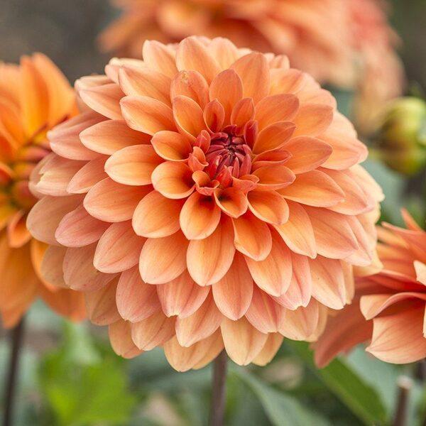 "Jurginas ""Decorative Orange"""