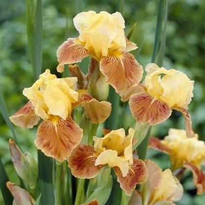 Irisas - GOLDEN MUFFIN