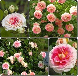 """Vijoklinė rožė """"Cesar"""""""
