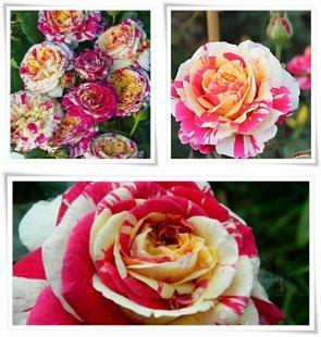 """Vijoklinė rožė """"Vanille fraise"""""""