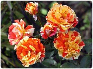 "Rožė ""Oranges&Lemons"""