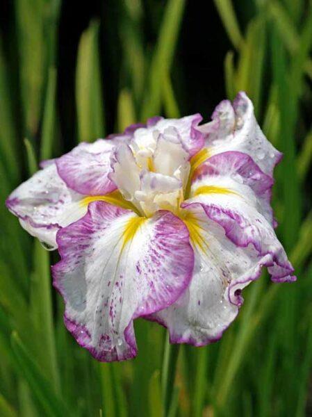 """Irisas japoninis """"Freckled geisha"""""""