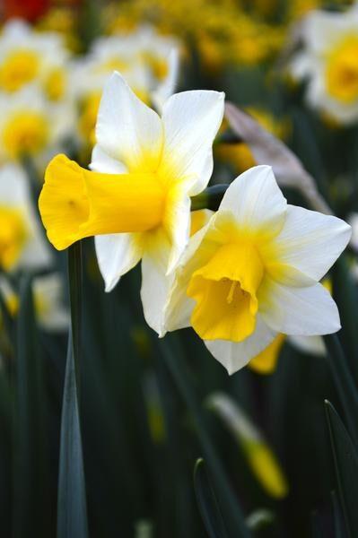 NAUJIENA! Narcizai - GOLDEN EHO 3vnt