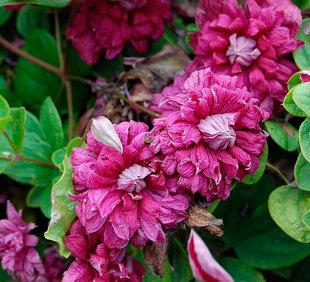 Raganė - Purpurea Plena Elegans (Viticella grupė)