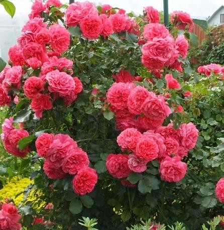 """Vijokline rožė """"ROSARIUM"""""""