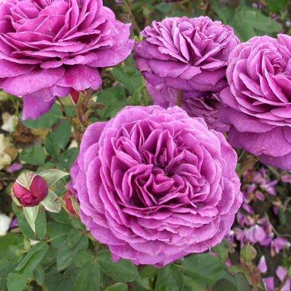 Bijūninė rožė OLD PORT