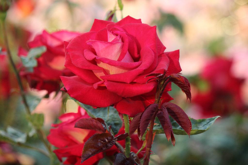 NAUJIENA! Rožė BICOLETTE