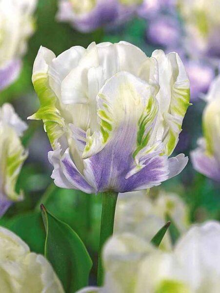 NAUJIENA! Tulpės - WHITE LIZARD 3vnt.