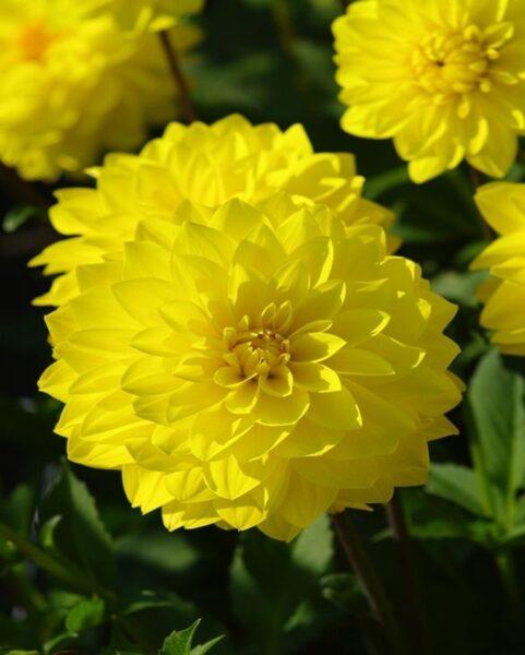 "Jurginas ""Decorative Yellow"""