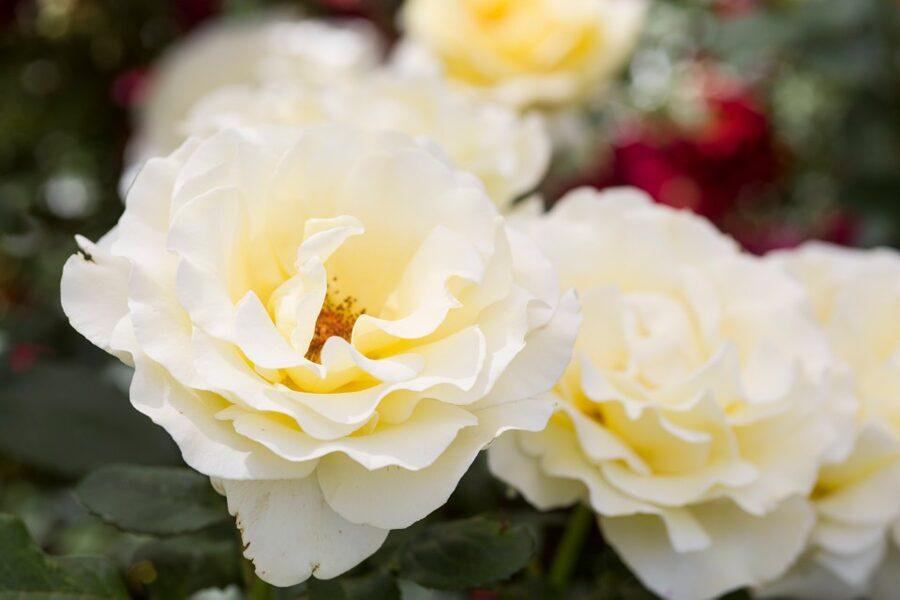 Rožė - ELINA