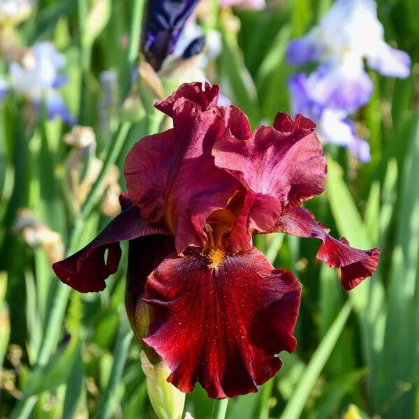 Irisas - RED ZINGER