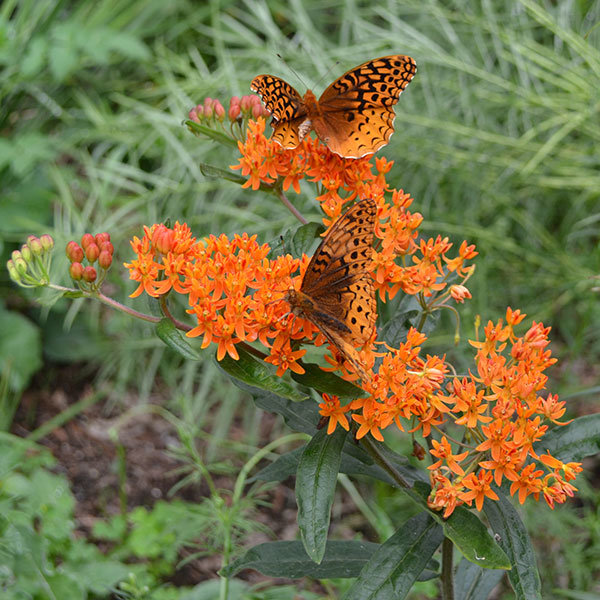 Klemalis gumbinis - Ascelapias tuberosa (Butterfly weed)