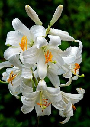 Baltoji lelija CANDIDUM (senovinė lelija)