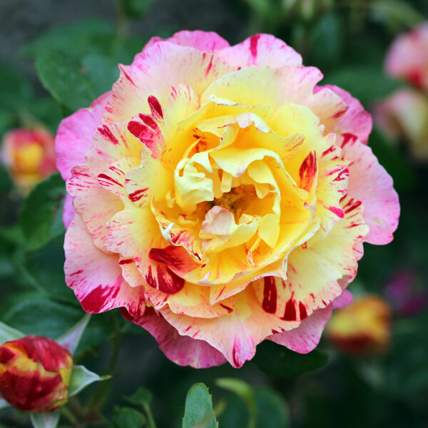 NAUJIENA! Rožė - CAMILLE PISSARO