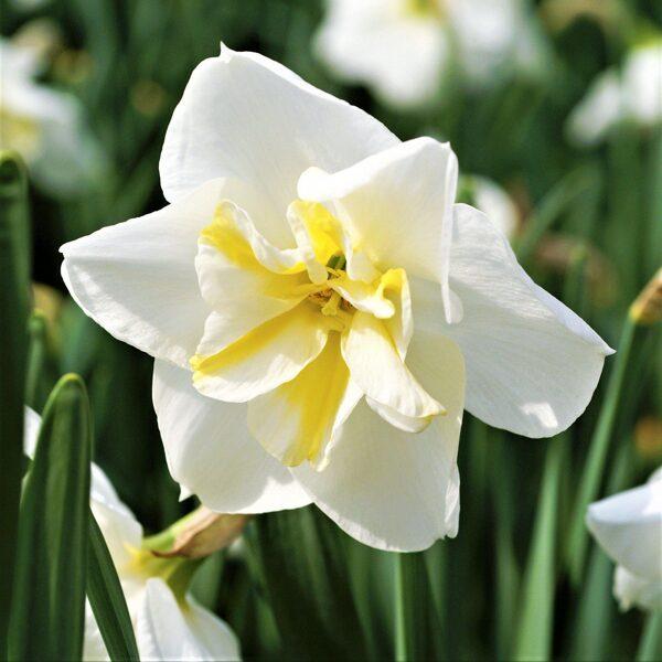 NAUJIENA! Narcizai - LEMON BEAUTY 3vnt