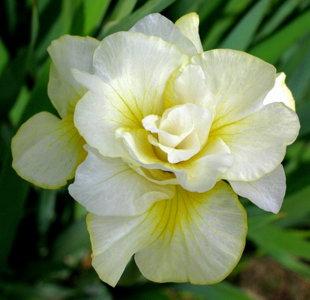 """Pilnaviduris irisas """"Double play"""""""