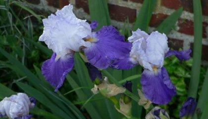 Irisas - ARPEGE