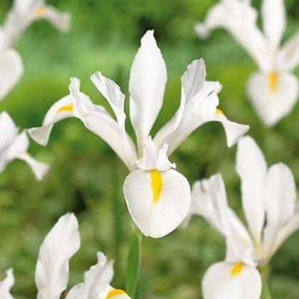 Irisai - White exelsior 10vnt