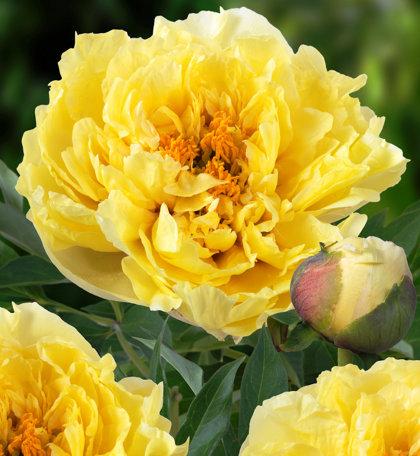 NAUJIENA! Bijūnas - Yellow Crown. ITOH