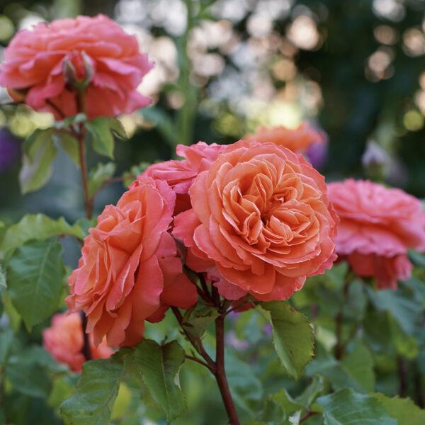 NAUJIENA! Rožė - EMILIEN GUILLOT