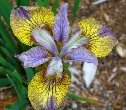 NAUJA! Sibirinis irisas - Tipped in blue