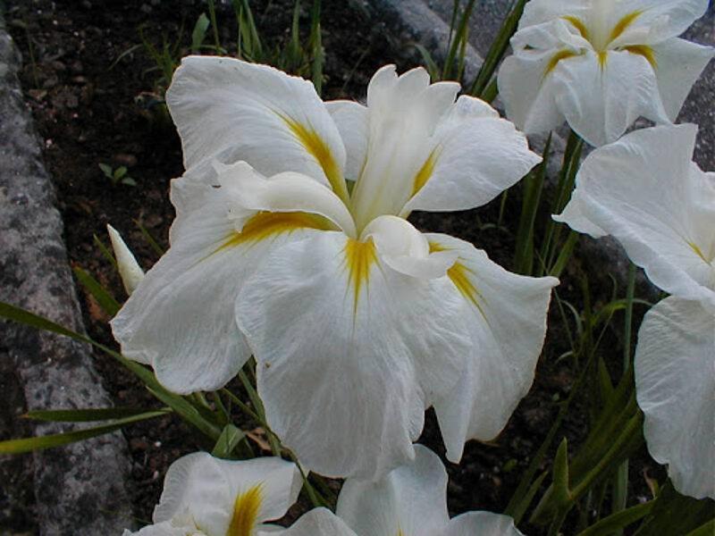 """Irisas japoninis """"White lady"""""""